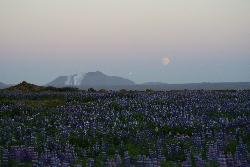 A field of lupins with the mist of Blue Lagoon in the distance.  Taken near Reykjavik Iceland.  Also known as lupinus or lupines.  Photo taken in daylight at midnight in June.