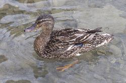 Female Mallard at Heritage Park in Barrie