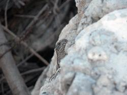 Baby Iguana in Mexico behind stone wall