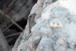 Close up of small iguana, leaning over a small rock wall.  At Bahia Principe in the Mayan Riviera of Mexico.