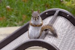 Front view of an American Red Squirrel, perched on patio chair.