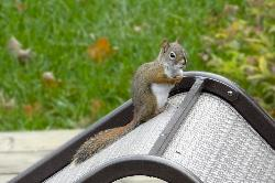 American Red Squirrel on patio chair.