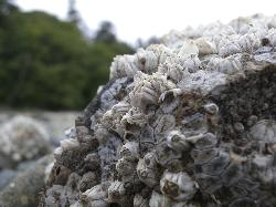Close-up macro of barnacles on a rock at the beach at Cordova Bay, near Victoria British Columbia.