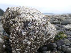 Photo of barnacles covering a rock at Cordova Bay, near Victoria British Columbia