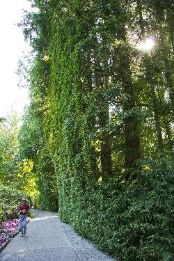 Butchart Gardens - tall trees along walkway