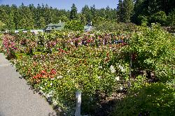 Rose Garden at Butchart Gardens in Victoria British Columbia