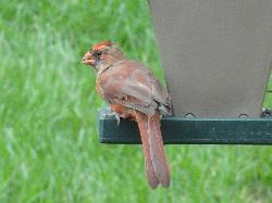 Female Northern Cardinal relaxing at a bird feeder.  Also known as redbird or common cardinal.