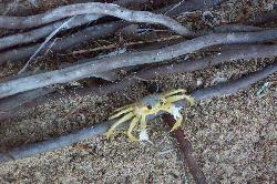 Sand Crab in St. Lucia