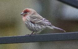 Photo of Common Redpoll bird.  Taken in Ontario Canada.