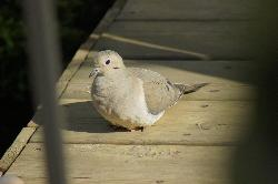 Mourning Dove on a deck in Ontario.