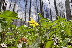 Photo of a trout lily in Ontario Canada.  Photo taken in early may 2011.