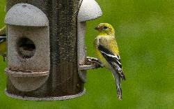 Photo of an American Goldfinch at feeder in Ontario.