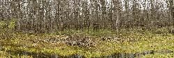 A panoramic stitched in-camera photo taken in Minesing Swamp in Ontario. Shows line across all the trees where previous water swells from the Nottawasaga River have risen.