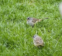 A photo of pair of White-crowned sparrows feeding in grass,