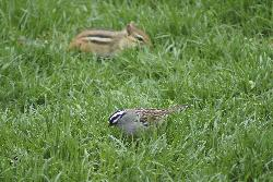 Photo fo White Crowned Sparrow feeding in lawn along with Chipmunk.