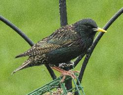 Zoomed in close-up view of black European Starling at feed, eating Suet.