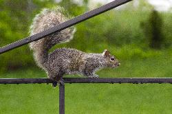 Eastern Gray Squirrel traversing canopy frame.