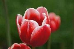Close-up of orange-red tulip in Garden.  Late may bloom.
