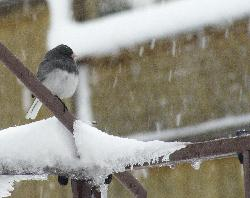 Chickadee braving snow in April