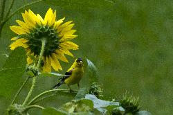 American Goldfinch perched on a sunflower.