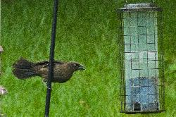 Crow Eating at Bird Feeder