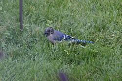 A blue jay looking for food in the grass