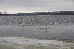 Pair of Trumpeter Swans in washed out field.