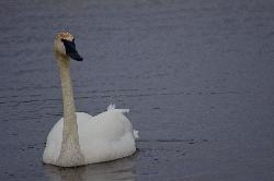 White Trumpeter Swan in Nottawasaga River at Minesing Swamp