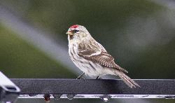 Photo of female Common Redpoll Finch taken in May in Ontario back yard. (Carduelis flammea)