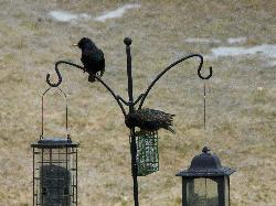 Photo of two European Starlings feeding at birder feeder near Barrie Ontario.