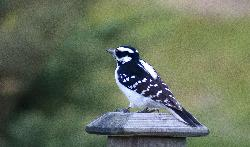 Downy Woodpecker in backyard in Ontario.