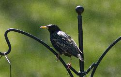 European Starling on perch in Ontario