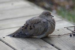Mourning Dove on Deck