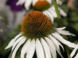 Photo of Echinacea, of the purpurea variety.