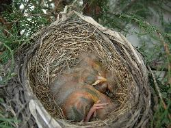 Photo of two day old robins sleeping in nest.