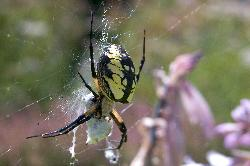 Photo of a female Argiope Aurantia. Is commonly known Black and Yellow Garden Spider.  Photo taken from the back yard.