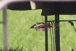 Zoomed photo from 18-200mm lens of hummingbird feeding.