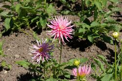 Photo of Pink Dahlia in Butchart Gardens, Victoria British Columbia.