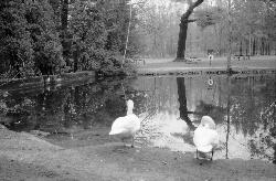 Black and white photo of swans at the pond in Spingwater Park.  Taken during the easter timeframe.