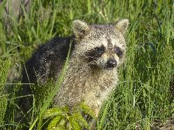 Adolescent raccoon with blind eye.