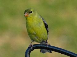 A female American Goldfinch, perched at feeder.