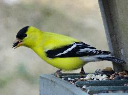The male American Goldfinch is olive in the winter.  Then changes to bright yellow in the spring and summer.