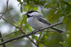 A black-capped chickadee perched on tree branch.  The chickadee allowed me to get within ten feet for this photo.