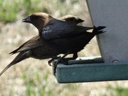 Brown-headed Cowbird - Male and Female at Feeder