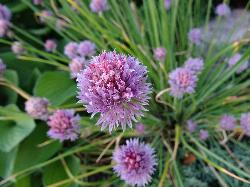 Close-up of the flower of a chive plant, taken in garden.