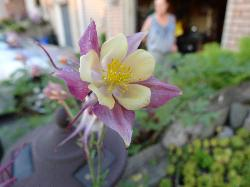 Close-up of Columbine flower in garden.