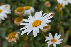 Ox-Eye Daisy Closeup - Ontario
