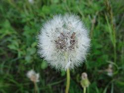 Photo of a white dandelion seed had.  Taken in late spring.
