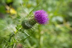 A Field Thistle in it flowering stage - Ontario
