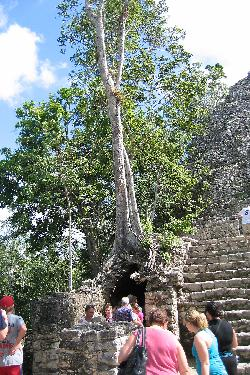 A tree growing out of the La Iglesia Temple at the Mayan Coba ruins in Mexico.